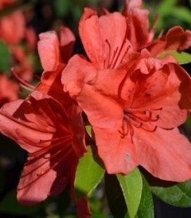 Azalea japonica 'Signalgluhen', Азалія японська 'Сігналглюхен'