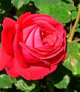 Rosa 'Dame de Coeur', Роза чайно-гибридная 'Дам де Кер'