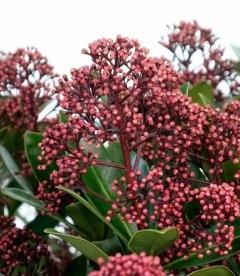 Skimmia japonica 'Rubesta', Скіммія японська 'Рубеста'