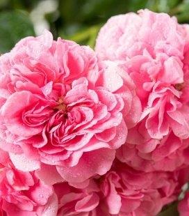 Rosa 'Pink Swany', Роза 'Пинк Свани'
