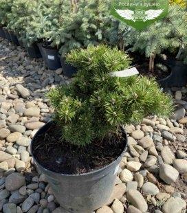 Pinus mugo 'Benjamin', Сосна гірська 'Бенжамін'