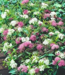 Spiraea japonica 'Genpei/Shirobana', Спирея японская 'Генпей/Широбана'