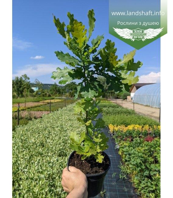 Quercus robur, Дуб черешчатый в горшке С2 / 2л