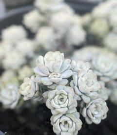 Sedum spathulifolium 'Cape Blanco', Очиток гібридний 'Кейп Бланко'