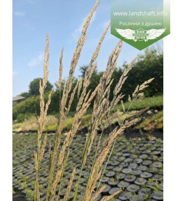 Calamagrostis acutiflora 'Karl Foerster', Війник гостроквітковий 'Карл Форстер'