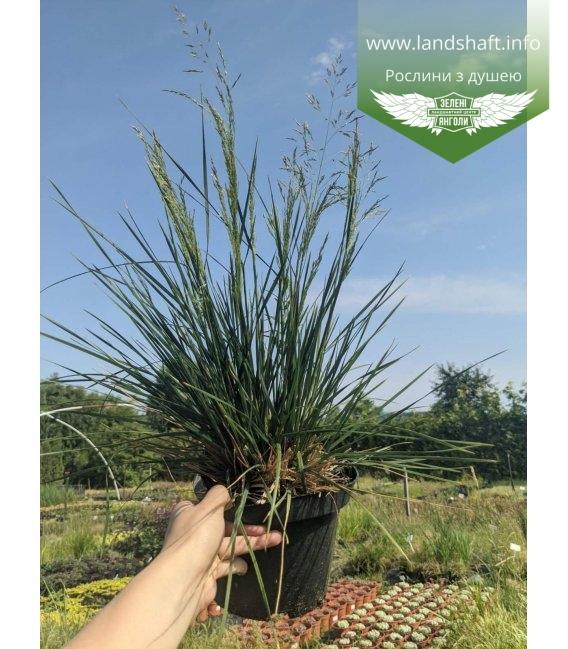 Deschampsia cespitosa, Щучник дернистий в горщику С2 / 2л
