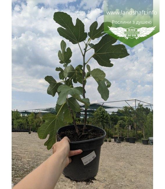 Ficus carica Смоковница (Инжир) в горшке С2 / 2л