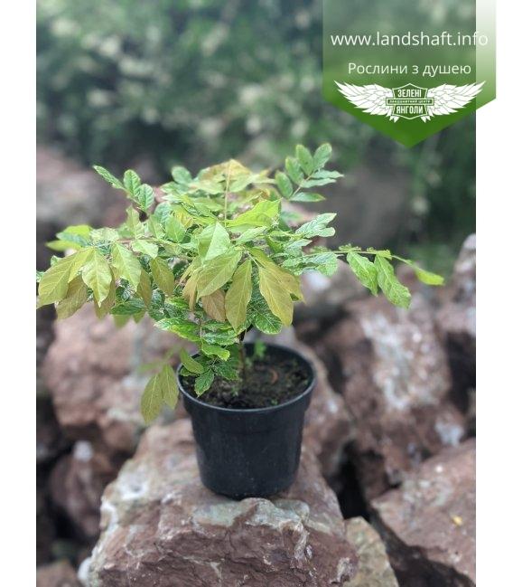 Wisteria sinensis, Гліцинія китайська в горщику С2 / 2л