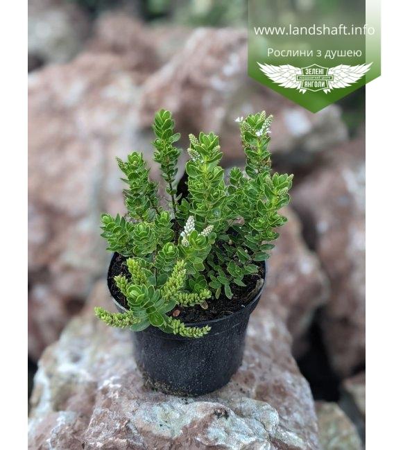 Hebe buxifolia, Хебе самшитолиста в горщику С2 / 2л