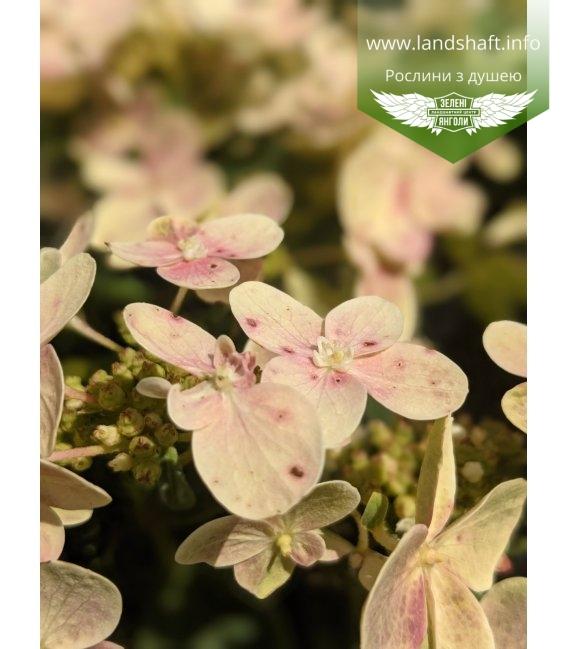 Hydrangea paniculata 'Polestar', Гортензія волотиста 'Поулстар'