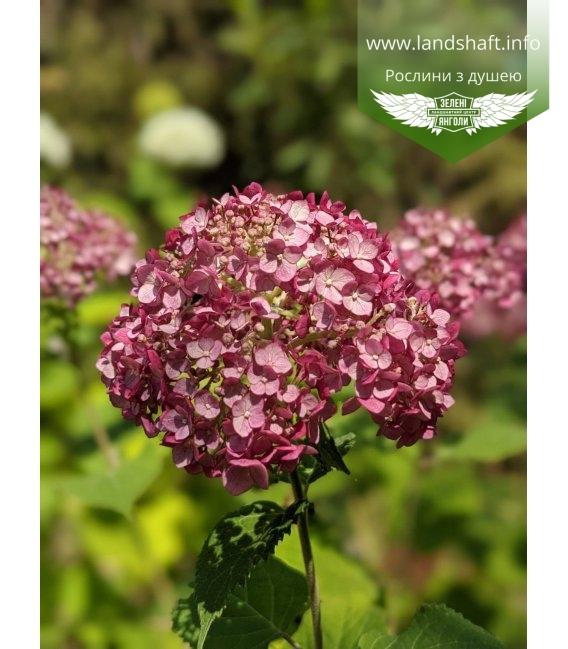 Hydrangea arborescens 'Pink Annabelle', Гортензія деревовидна 'Пінк Анабель'