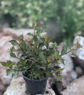 Вейгела цветущая 'Нана Пурпуреа' в горщику С2 / 2л