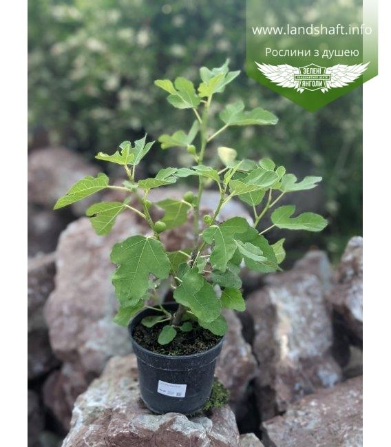 Ficus carica, Інжир в горщику С2 / 2л