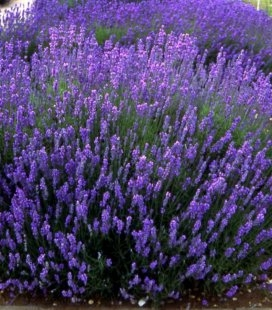 Lavandula angustifolia 'Hidcote Blue', Лаванда вузьколиста 'Хідкот Блу'