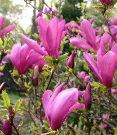Magnolia hybrida 'Susan', Магнолія гібридна 'Сюзан'