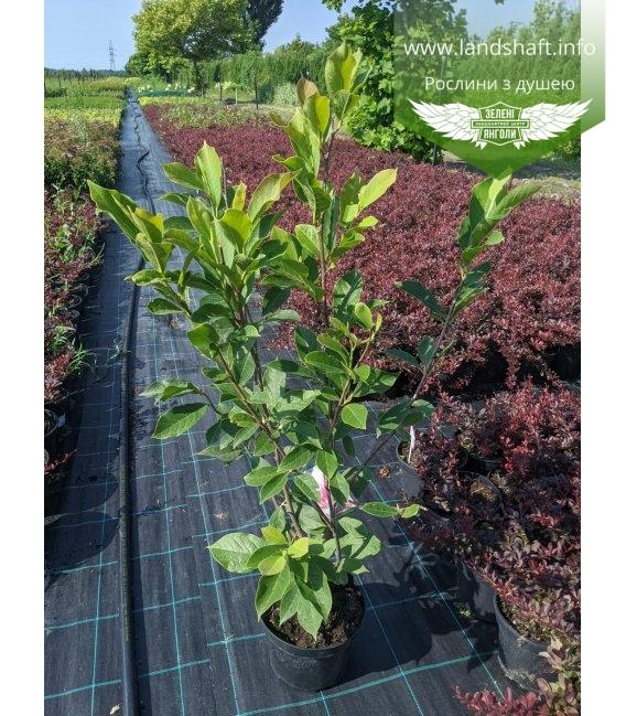 Magnolia x soulangeana, Магнолія Суланжа в горщику С3 / 3л