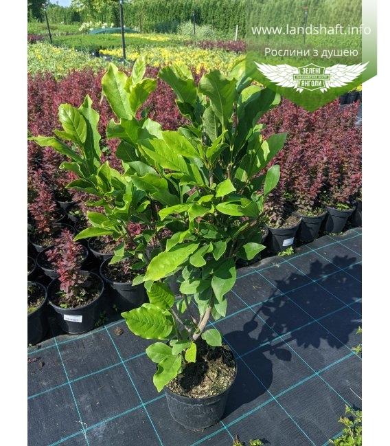 Magnolia hybrida 'Susan', Магнолія гібридна 'Сюзан' в горщику С3 / 3л
