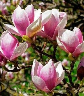 Magnolia x soulangeana 'Alexandrina', Магнолія Суланжа 'Александріна'