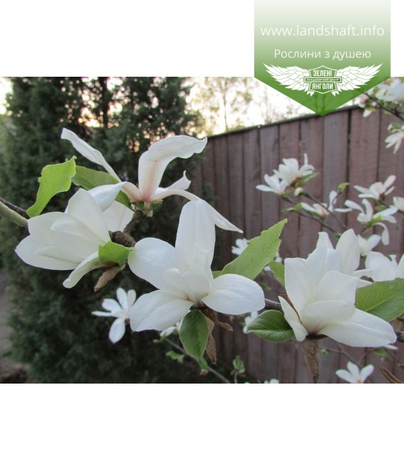Magnolia kobus Магнолія кобус