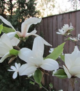 Magnolia kobus, Магнолія кобус