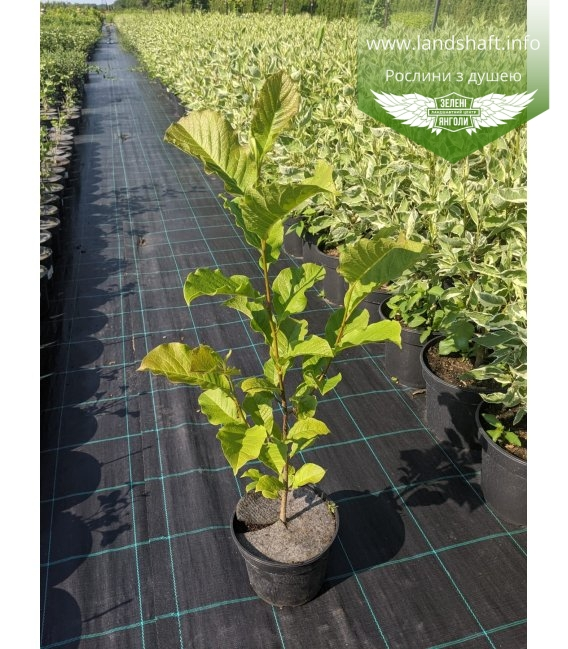 Magnolia kobus, Магнолія кобус в горщику С2 / 2л