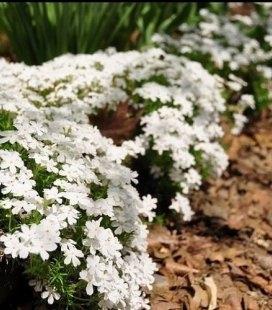 Phlox subulata 'Calvides White', Флокс шиловидный 'Калвидес Вайт'