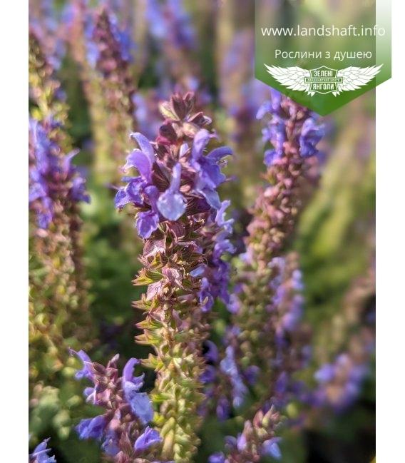 Salvia nemorosa 'Deep Blue Field', Шавлія дібровна 'Діп Блу Філд'