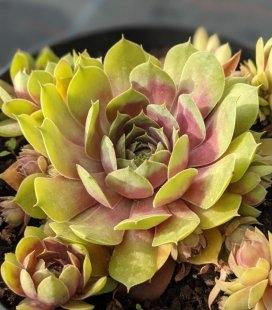 Sempervivum x hybridum 'BigSam Pink Pomelo', Молодило 'БігСем Пінк Помело'