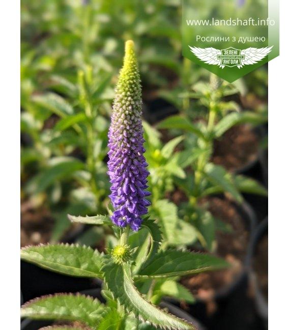 Veronica longifolia 'First Glory', Вероніка довголиста 'Фьорст Глорі'