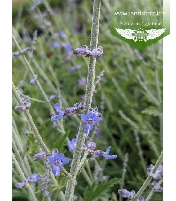 Perovskia atriplicifolia 'Lacey Blue', Перовскія лебедолиста 'Лейсі Блу'