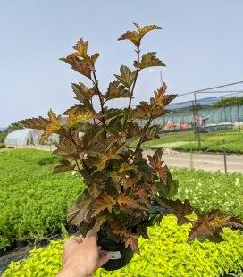 Physocarpus opulifolius 'Andre', Пухироплідник калинолистий 'Андре'