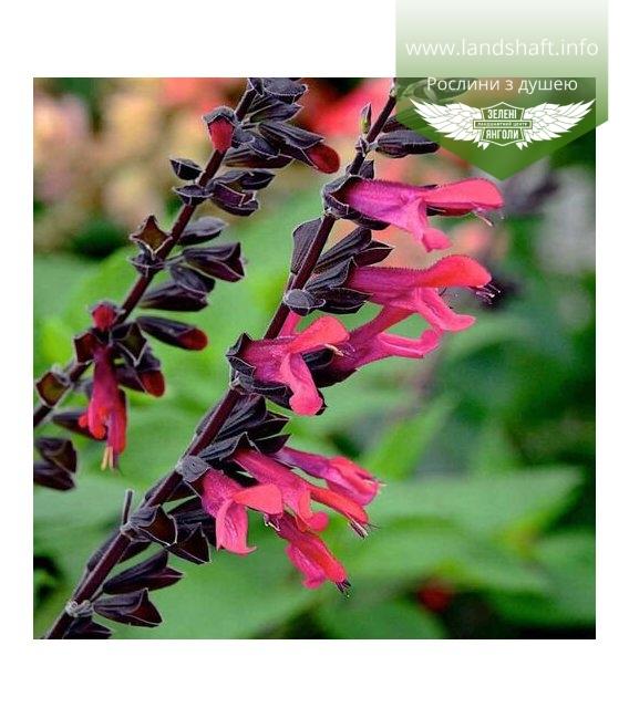 Salvia hybrida 'Amante', Шавлія гібридна 'Аманте'