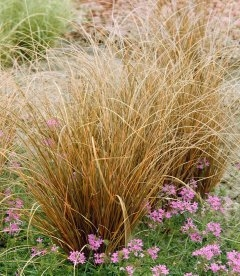 Carex buchananii 'Red Rooster', Осока Буханана 'Ред Рустер'