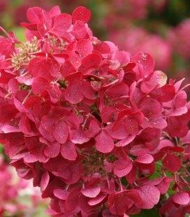 Hydrangea paniculata 'Diamant Rouge/Rendia', Гортензия метельчатая 'Диамант Руж' цветения растения летом.