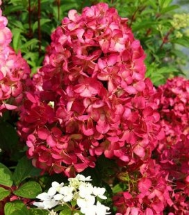 Hydrangea paniculata 'Diamant Rouge/Rendia', Гортензія волотиста 'Діамант Руж/Рендіа'