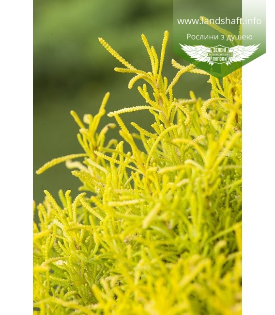 Santolina rosmarinifolia 'Lemon Fizz', Сантолина розмаринолистная 'Лемон Физз'