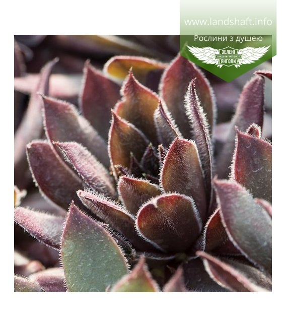 Sempervivum x hybridum 'BigSam Coral Gray', Молодило 'БігСем Корал Грей'