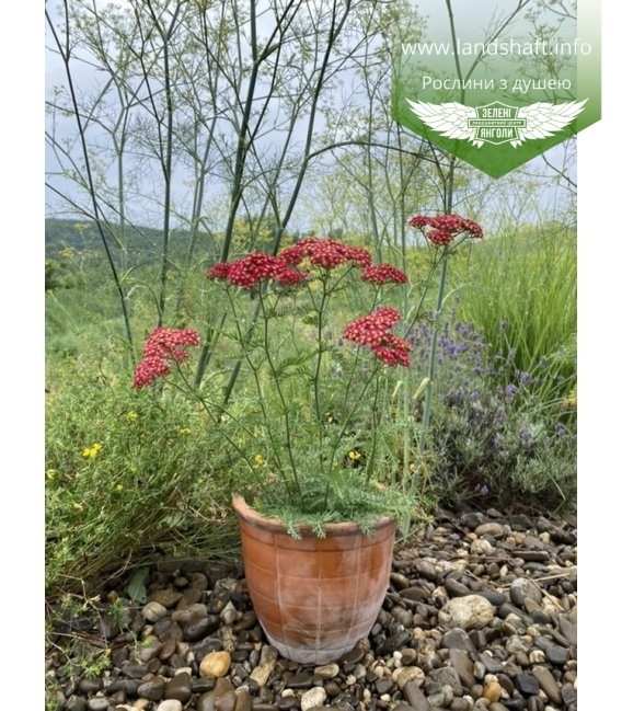 Achillea millefolium 'Paprika', Тысячели́стник обыкнове́нный 'Паприка'