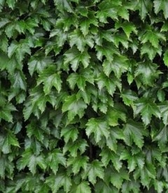 Parthenocissus tricuspidata 'Diamond Mountains', Дівочий виноград тризагострений 'Даймонд Маунтейнз'