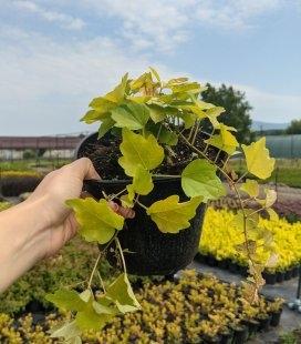 Parthenocissus tricuspidata 'Fenway Park', Девечий виноград триостренный 'Фенвей Парк'