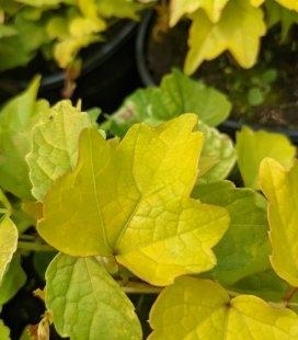 Parthenocissus tricuspidata 'Fenway Park', Дівочий виноград тризагострений 'Фенвей Парк'