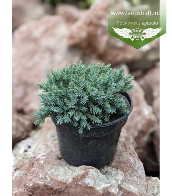 Juniperus squamata 'Blue Star', Ялівець лускатий 'Блу Стар' в горщику 2л