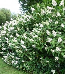Hydrangea paniculata 'Tardiva', Гортензія волотиста 'Тардіва'