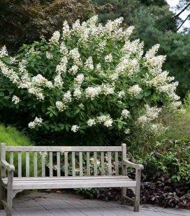Hydrangea paniculata 'Tardiva', Гортензия метельчатая 'Тардива'