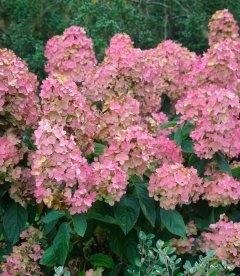Hydrangea paniculata 'Pink Diamond', Гортензія волотиста 'Пінк Даймонд'
