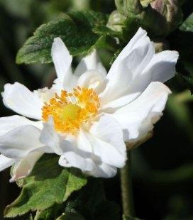 Anemone х hybrida 'Whirlwind', Анемона японська 'Велвінд'