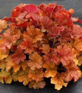 Heuchera hybrida 'Nothern Exposure Amber', Гейхера гибридная 'Носерн Экспожа Амбер'