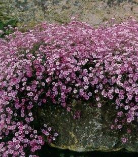 Gypsophila repens 'Rosea', Гипсофила ползучая 'Розеа'
