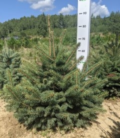 Picea pungens 'Glauca Arizonica/Kaibab', Ялина блакитна 'Глаука Арізоніка/Кейбаб'