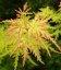 Acer palmatum 'Seiryu', Клен пальмолистий 'Сейрю'